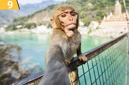 малка сърдита маймуна